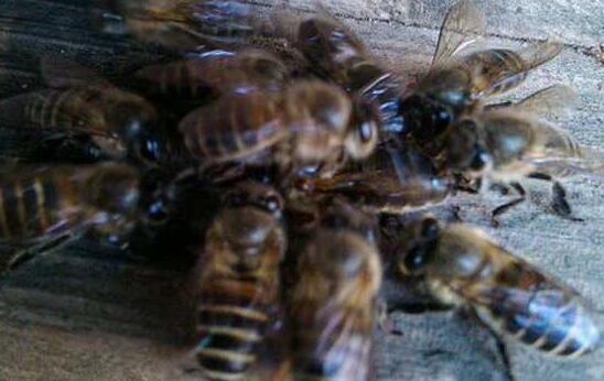 蜂箱用什么吸引蜜蜂?