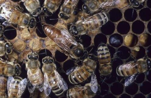 蜜蜂蜂王一般藏在那里?