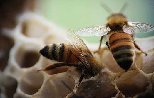 人工要怎么养蜜蜂才不会跑有什么技巧吗?