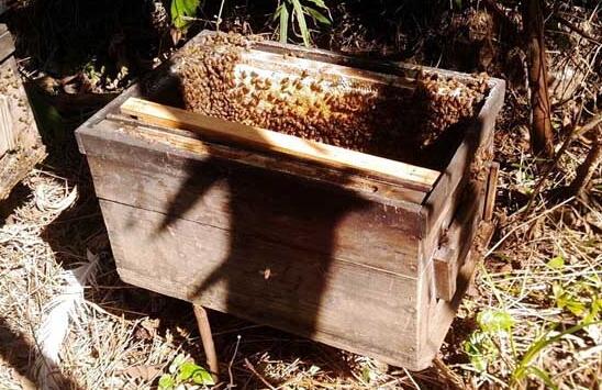 快速招蜜蜂群的方法新手必看?