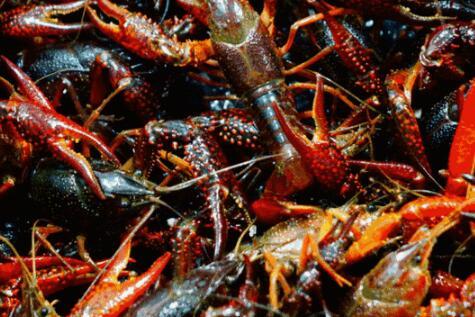 现在市场种苗小龙虾多少钱