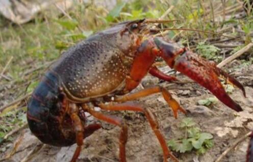 小龙虾种苗怎么养殖?