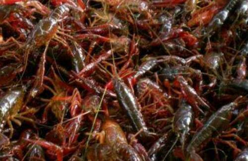 优质淡水小龙虾种苗怎么挑