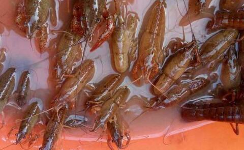 淡水小龙虾种苗繁育方式你知道哪些?