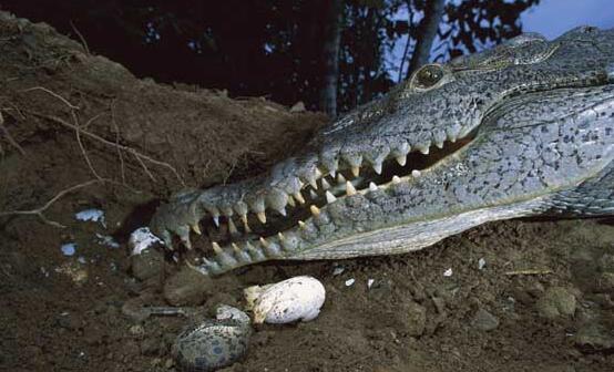 现在鳄鱼养殖是骗局吗?