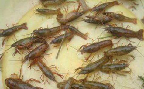秋季小龙虾养殖什么时间段上水淹洞比较适时?