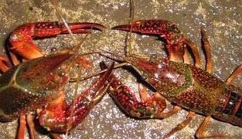 (稻田、池塘)养殖小龙虾成