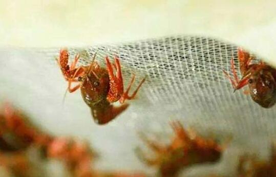 现在小龙虾养殖利润与成本究竟分别有多少?