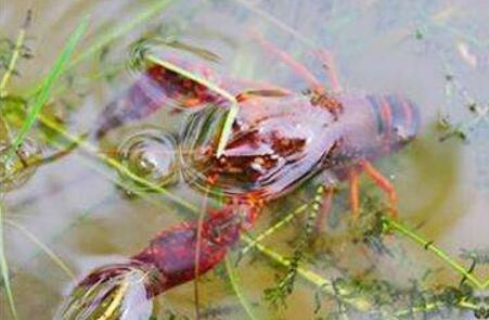 小龙虾虾苗过冬注意事项有哪些?