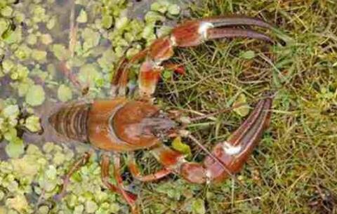 小龙虾放苗究竟要不要一次性投足?