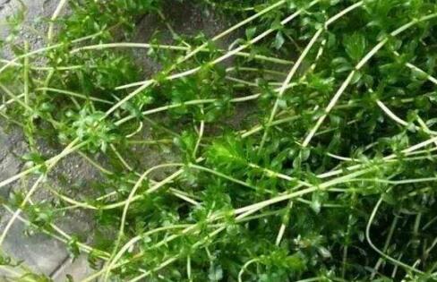 小龙虾养殖过程中水草的常见的6个问题?
