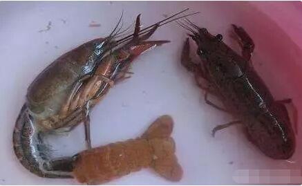 小龙虾蜕壳现象与蜕壳条件有哪些?