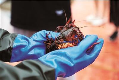 江苏盱眙龙虾养殖面积突破52万亩龙虾创业规模破70亿