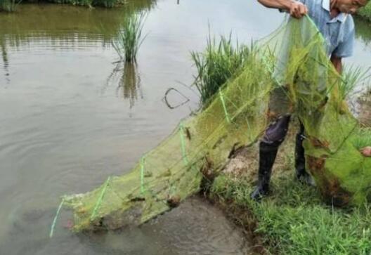 小龙虾虾苗培育 小龙虾种虾和虾苗投放相关问题有哪些?
