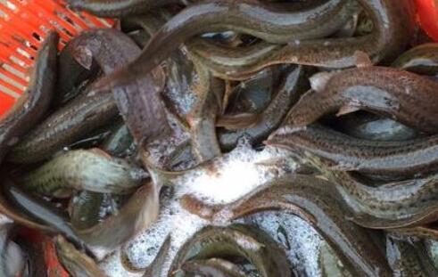 吃泥鳅一定要去除内脏吗?