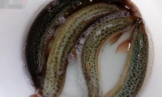 泥鳅的功效与禁忌究竟有哪些?