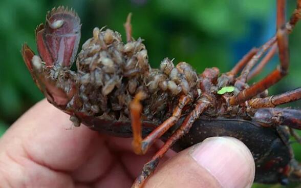 小龙虾什么时候繁殖?