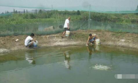 台湾泥鳅怎么养殖可以亩效益万元以上?