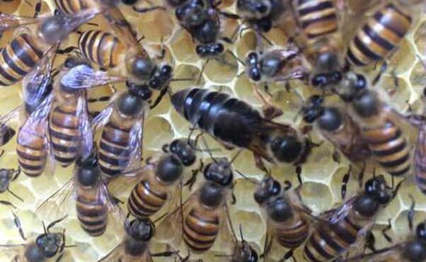 一般新收的蜜蜂群究竟要关几天才可以?