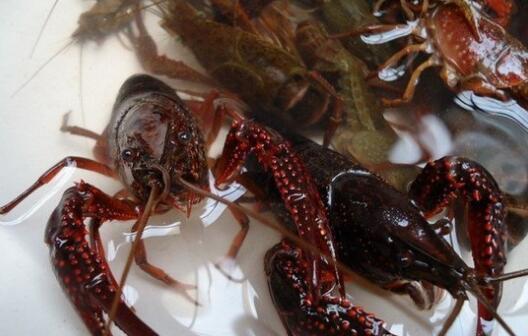 全年12个月养殖小龙虾的详细