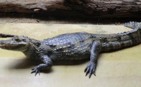一般养殖鳄鱼一年可以长多少斤?