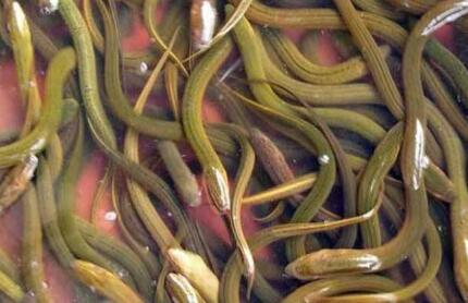 怎样繁殖黄鳝种苗有没有技巧?