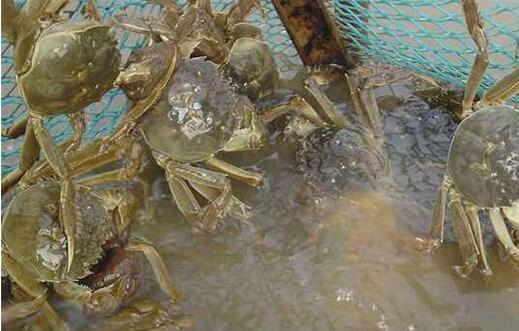 养殖的河蟹缺氧应该怎么办才好?