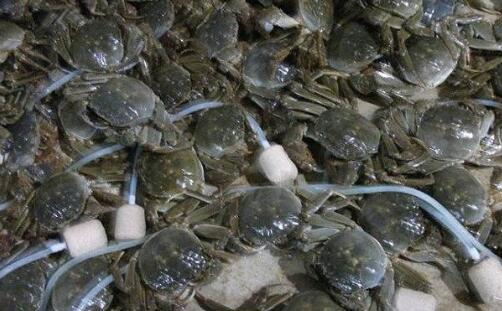 现在河蟹养殖的管理要点有哪些?