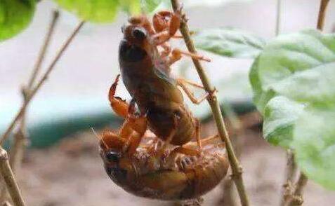 现在人工养殖金蝉需要准备什么?