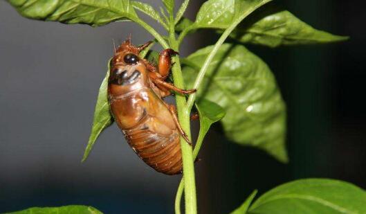 金蝉卵枝应该如何进行栽种才正确?
