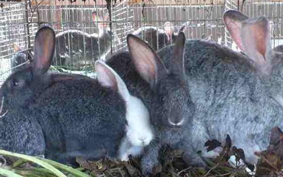 养兔不赚钱的原因剖析究竟有哪些?