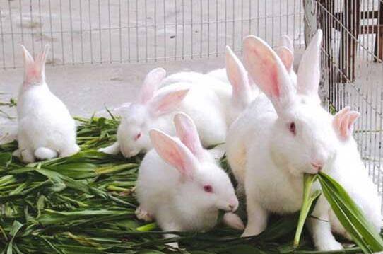养兔牧草品种选择有哪些要求?