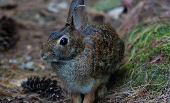 养殖100只兔子的利润究竟有多少?