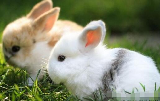 为什么说兔子养殖回收是骗局?