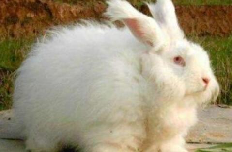 养100只长毛兔一年利润有多少?