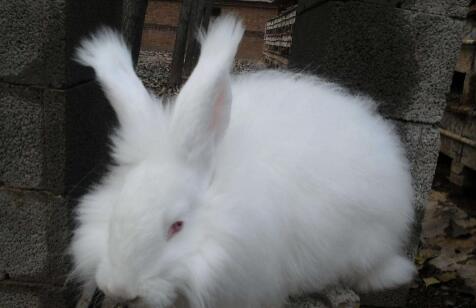 现在市场垂耳长毛兔多少钱一只?