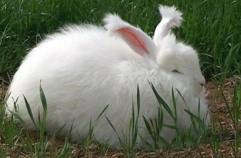现在市场长毛兔兔毛价格多少钱一斤?