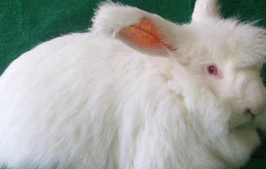 长毛兔怎么过冬需要什么措施?