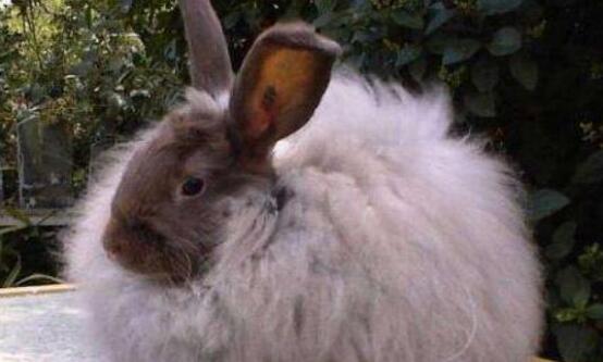 现在开始养长毛兔赚钱吗?