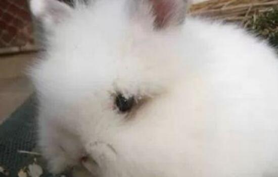 市场上长毛兔种兔价格一般为多少?