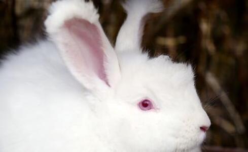 长毛兔品种究竟有哪几种?