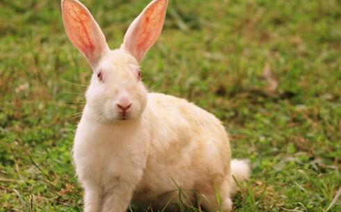 兔子的种类都有哪些?