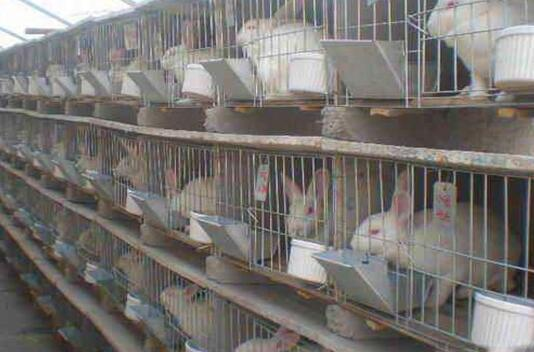 肉兔养殖一般需要注意什么?