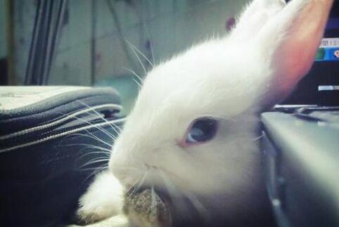 兔子养多久才会认主人认主是假象吗?