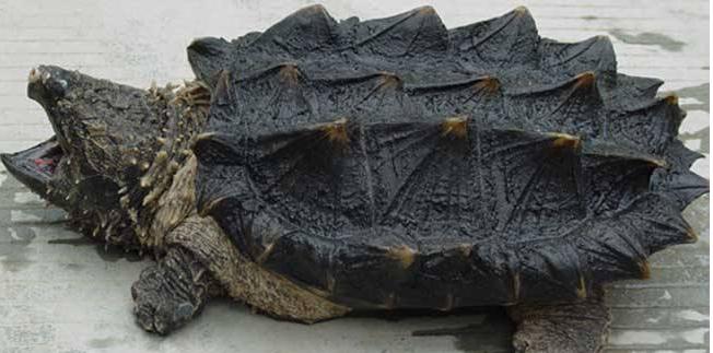 2019年鳄鱼龟养殖技术 池塘怎么养殖?