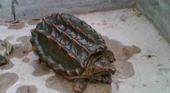 鳄鱼龟养殖池怎么样设计建造比较合理?