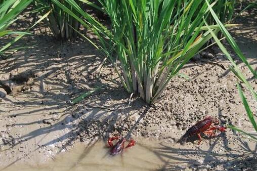 十月水稻收起来还可以养殖小龙虾吃吗?