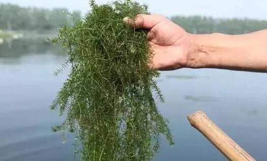 养殖小龙虾的池塘有必要清野杂鱼吗?