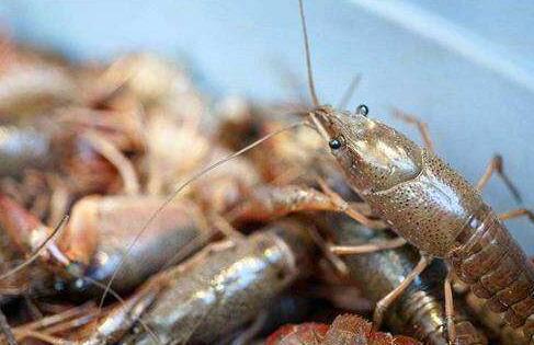 现在养殖小龙虾都有哪些模式(常见)?