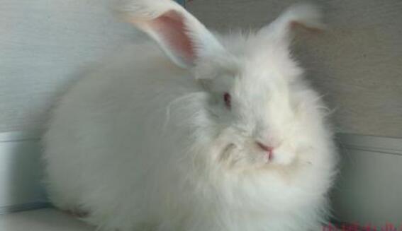 一只长毛兔一年能产多少毛?